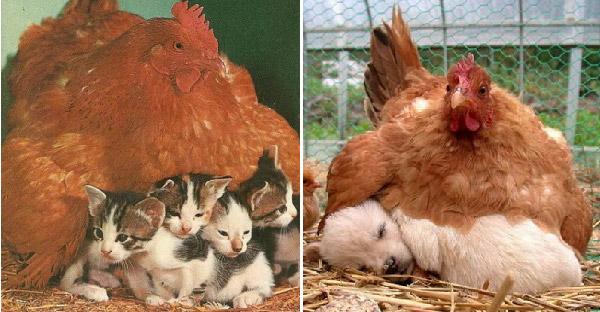 16 ภาพที่พิสูจน์ว่าไก่คือแม่เลี้ยงชั้นเลิศ ที่สามารถเป็นแม่ให้กับสัตว์ทุกชนิดได้
