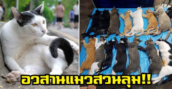 อวสานแมวสวนลุม!! ปศุสัตว์จับทำหมันเรียบพร้อมประกาศหาบ้าน ไม่มีอีกแล้วแมวสวนลุม