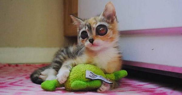 """ลูกแมวจรกำพร้ามีดวงตาใหญ่เหมือน """"กบ"""" ได้รับการผ่าตัดจากทีมแพทย์จนปลอดภัย"""