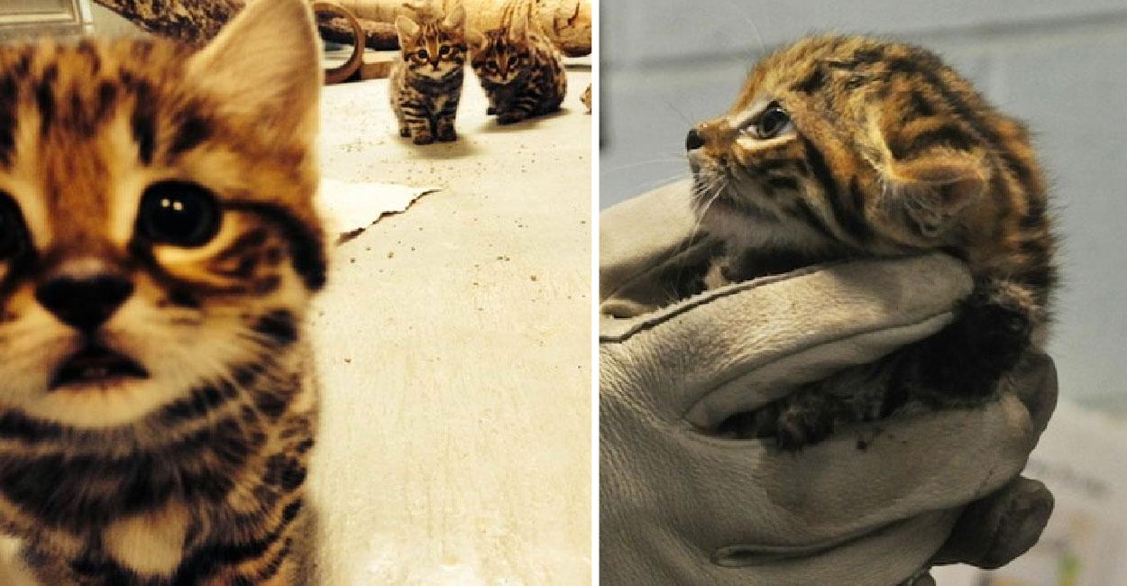 พารู้จักแมวตีนดำลายเสือสุดยอดนักล่า แต่ว่าน่ารักหนักมาก!!