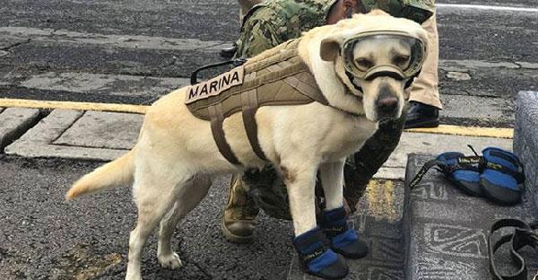 Frida สุนัขค้นหา!! อีกกำลังสำคัญที่ช่วยชีวิตผู้ประสบภัยแผ่นดินไหวในเม็กซิโกแล้วกว่า 50 คน