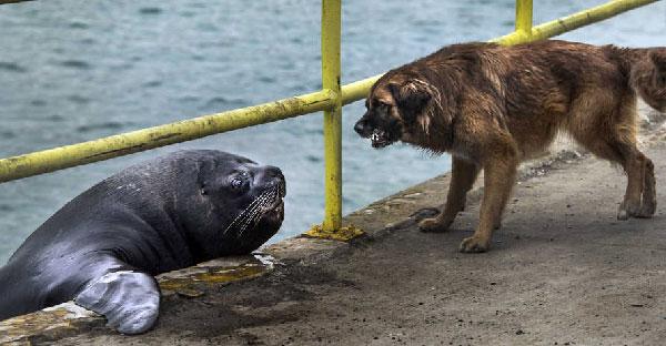 เจ้าตูบสู้ไม่ถอยขู่ใส่สิงโตทะเลหวังทวงปลาที่โดนฉกไปคืน!!