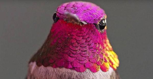 นักวิจัยเลี้ยงนกฮัมมิ่งเบิร์ดมากกว่า 200 ตัว ที่มีความสามารถทั้งเปลี่ยนสีและบินถอยหลังได้