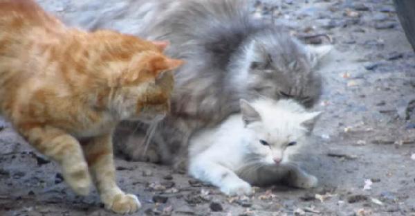 เหมียวสาวสุดทน..หนีไปทางไหนก็เจอแต่แมวหนุ่มรุมฝืนใจ แต่สุดท้ายไม่มีใครได้นางไปครอง