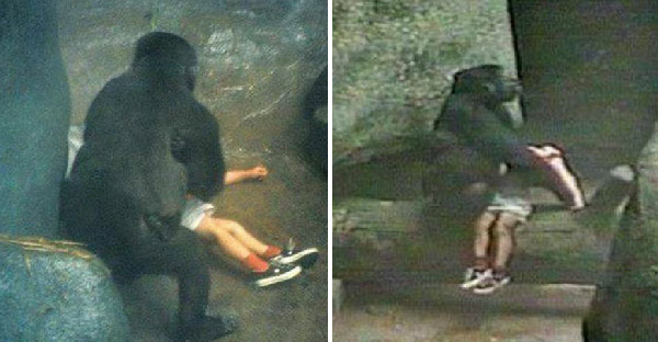 กอริลล่าตัวเมียช่วยเด็กวัย 3 ขวบ ที่ตกลงไปในกรง พร้อมปีนขึ้นมาส่งให้เจ้าหน้าที่