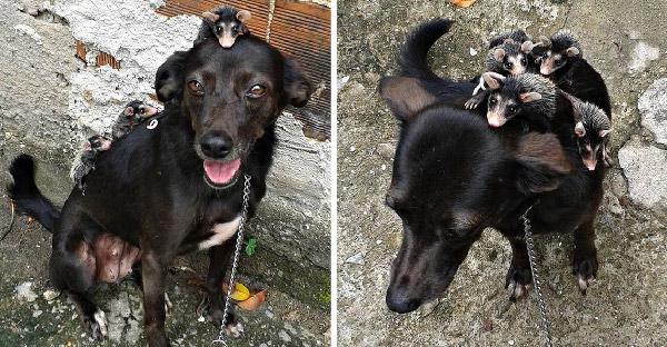 หมาแสนรู้ช่วยชีวิตลูกโอพอสซั่มกำพร้า 4 ตัว จนพวกมันเกาะหลังหนึบคิดว่าเป็นคุณแม่