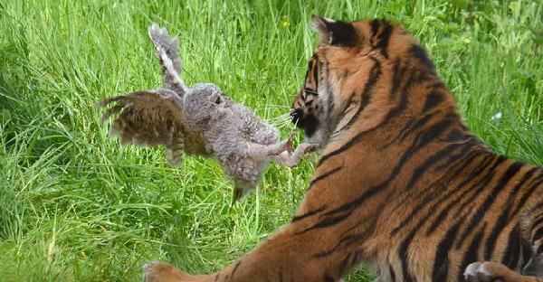 ลูกนกฮูกบาดเจ็บพลาดบินตกไปในกรงเสือโคร่ง จนเกิดเป็นเหตุการณ์ลุ้นระทึก