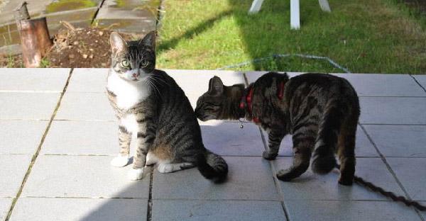 แมวปริศนามาเล่นกับแมวที่บ้านตลอด 3 ปี จนเจ้าของสงสัยต้องแอบเดินตามว่ามาจากไหน