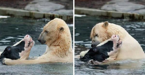 หมีขั้วโลกกับวัวอาบน้ำด้วยกันสุดซึ้ง ก่อนจะเผยความจริงสุดสยอง!!