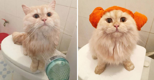 Meepo น้องเหมียวบริติชที่ชื่นชอบการอาบน้ำสุดๆ