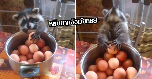 แรคคูนตัวแสบโมโหเพราะขโมยไข่ไม่ได้ จึงต้องยอมแพ้ไปโดยปริยาย