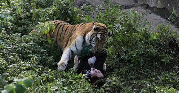 เหตุการณ์ระทึกขวัญนักท่องเที่ยว เมื่อเสือโคร่งหลุดกรงขย้ำเจ้าหน้าที่สาวจนเกือบเอาชีวิตไม่รอด