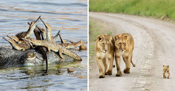 24 ภาพครอบครัวของสัตว์โลกหาดูยาก ที่คุณอาจไม่เคยเห็นมาก่อน