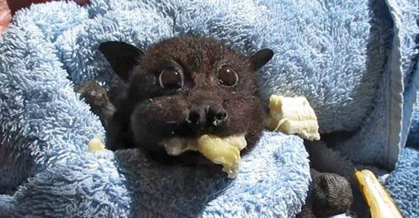 ค้างคาวตัวน้อยโชว์กินกล้วยสุดน่ารัก หลังรอดชีวิตจากการถูกรถยนต์ชนจนได้รับบาดเจ็บ