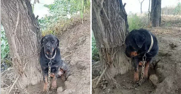 เจ้าของล่ามพ่อพันธุ์สุนัขกับต้นไม้ เพราะเห็นว่ามันหมดประโยชน์แล้ว