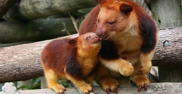 """""""จิงโจ้ต้นไม้"""" สัตว์โลกขนนุ่มน่ารัก สายพันธุ์สุดน่ารักแห่งออสเตรเลีย"""