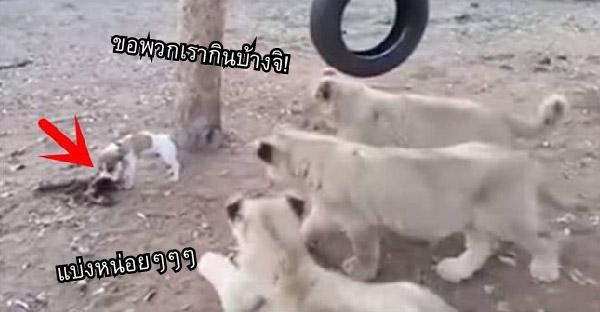 คดีพลิก!! ลูกหมาเผชิญหน้าสิงโต 3 ตัวที่เข้ามาแย่งของกิน แต่กลับไล่เจ้าป่าซะหมดฟอร์ม