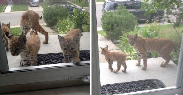 เมื่อครอบครัวแมวป่าเซอร์ไพรซ์ถึงหน้าบ้าน เธอจึงไม่พลาดที่จะถ่ายภาพเด็ดๆเก็บไว้