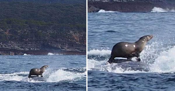 ตากล้องจับภาพแมวน้ำโต้คลื่นบนวาฬหลังค่อม หลายคนบอกตัดต่อแต่เธอยืนยันว่าเรื่องจริง!!