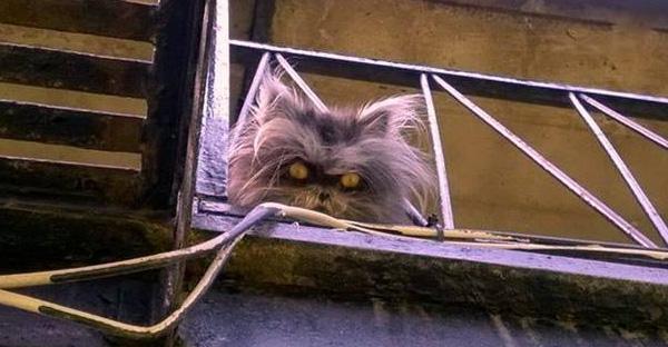 แมวเปอร์เซียถูกเจ้าของเก่าทิ้ง เพราะเป็นโรคมนุษย์หมาป่า