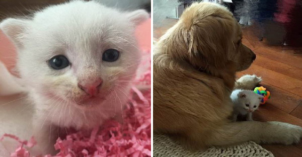 เมื่อเจ้าของนำลูกแมวเข้าบ้าน พี่เด้นก็ตื่นเต้นสุดขีดและอาสาเลี้ยงแทนทันที