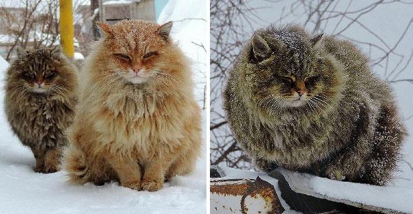 ครอบครัวสร้างอาณาจักรแมวไซบีเรียนขนฟู ที่ปรับตัวเข้ากับอากาศหนาวได้น่ารักฝุดๆ