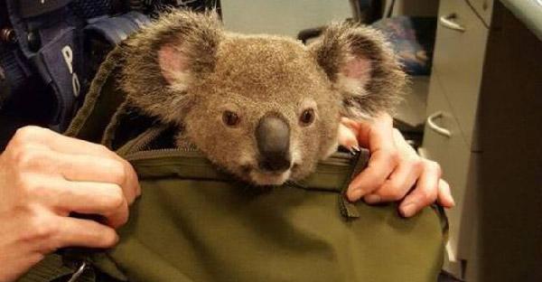 ตำรวจออสเตรเลียบุกค้นตัวหญิงรุ่นใหญ่ พบลูกหมีโคอาล่าสัตว์คุ้มครองในกระเป๋าถือ!!