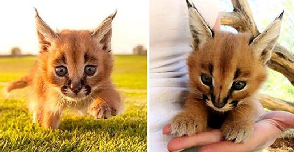 13 ความจริงเกี่ยวกับแมวป่าคาราคัล ที่ซ่อนความร้ายกาจไว้ภายใต้ใบหน้าน่ารักๆ