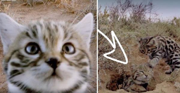แมวป่าพันธุ์จิ๋วหน้าตาน่ารักเหมือนแมวบ้าน กับความสามารถที่ร้ายกาจสุดๆ