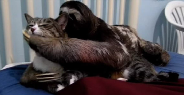สลอธใช้กรงเล็บลูบไล้จัดการแมวจนอยู่หมัด ดูไปลุ้นไปว่าจะมีเรื่องกันมั้ย