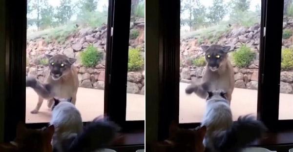 เจ้าเหมียวจ้องหน้าสิงโตภูเขาที่พยายามจะเปิดประตู ทำเอาใจหายใจคว่ำกรี๊ดแทบสลบ