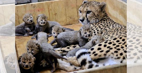 สวนสัตว์เซนต์หลุยส์เผยภาพถ่ายเสือชีตาห์ ที่คลอดลูกเยอะที่สุดในประวัติศาสตร์