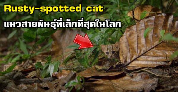 รู้จักกับ Rusty-spotted cat แมวสายพันธุ์ที่เล็กที่สุดในโลก