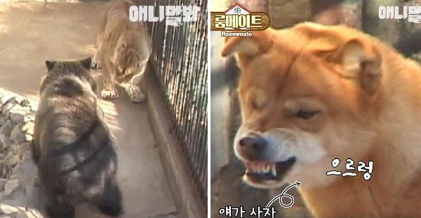 เจ้าหมาช่วยสิงโตเพื่อนรัก หลังจากถูกหมีดำแกล้งสั่งสอนจนหงอไปเลย