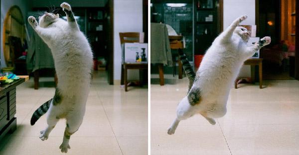 แมวอ้วนบินได้!! กระโดดเหินหาวกลางเวหา จนได้ภาพชุดสุดฮาน้ำตาเล็ด!