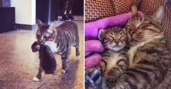 แมวหนุ่มสุดโรแมนติก คาบลูกแมวปริศนาเข้าบ้าน แถมหน้าเหมือนตัวเองเปี๊ยบ