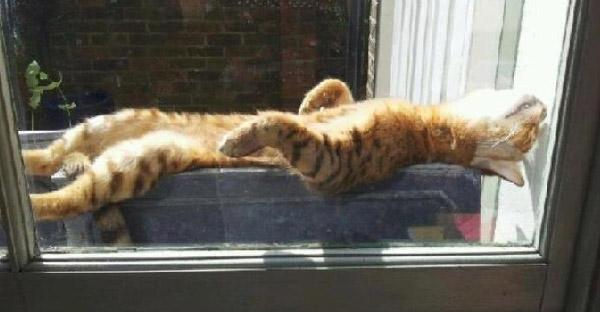 เผยห้าเหตุผลของแมวเหมียวที่ชื่นชอบการนอนอาบแดด ที่เจ้าของแมวต้องรู้ไว้