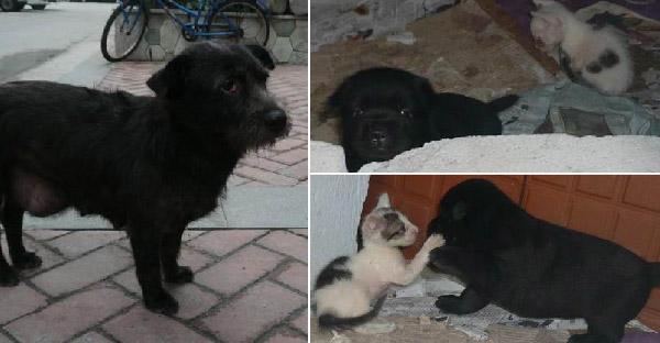 แม่หมาจรดูแลลูกแมวสองกับลูกหมาหนึ่งตัวไม่ไหว จึงเดินพาสาวใจดีที่ให้อาหารไปช่วยเหลือ