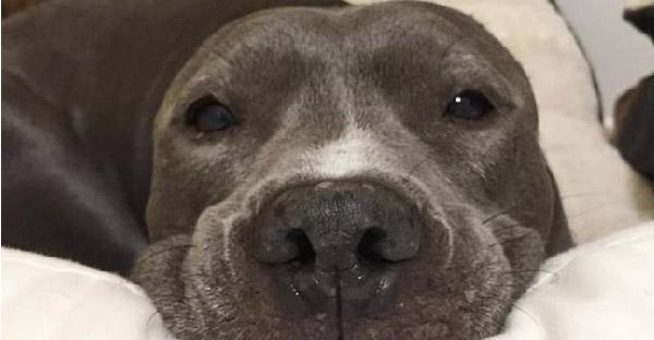 สุนัขพิทบูลถูกใช้เป็นเหยื่อล่อในสนามประลอง เจ็บหนักจนเสียหูแต่กัดฟันสู้จนรอดมาได้