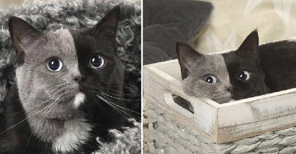 ลูกแมวหายากเกิดมาเหมือนมี 2 หน้า เติบโตมากลายเป็นแมวน่ารักสุดคูลล์