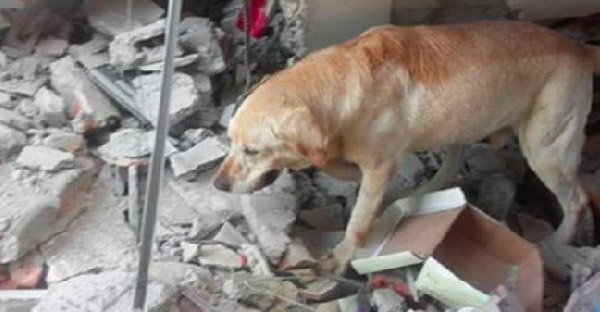 วีรกรรมสุดท้ายของตูบ!! ช่วยคนจากแผ่นดินไหว 7 ราย ก่อนเสียชีวิตในที่เกิดเหตุ!!