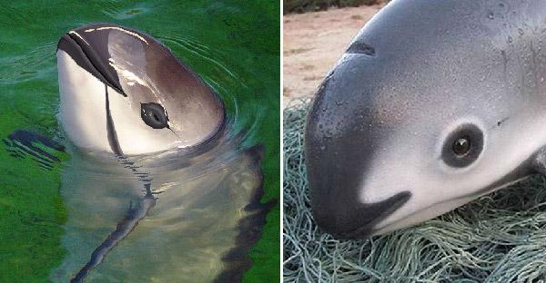 พารู้จักโลมาวากีต้าสัตว์น้ำที่เสี่ยงสูญพันธุ์ในปีนี้ ที่มีขอบตาดำเหมือนแพนด้า!!
