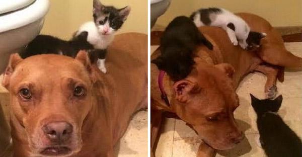 แก๊งลูกแมวช่วยเยียวยาจิตใจพิตบูลที่เคยถูกทำร้าย ให้กลับมามุ้งมิ้งไม่มีใครเกิน