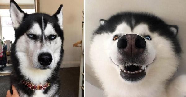 27 ภาพที่ยืนยันว่าไซบีเรียนฮัสกี้ เป็นหนึ่งในหมาที่แสบซนและติ๊งต๊องที่สุด