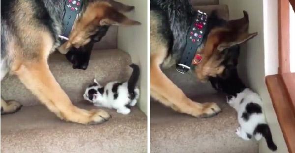 ลูกแมวพยายามฝึกขึ้นบันไดแต่ไม่ทันใจพี่หมา กลายเป็นความน่ารักที่ทำให้หลายคนอมยิ้ม