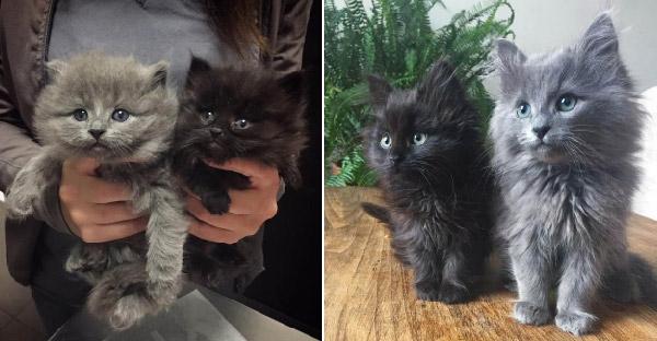 สองลูกแมวกำพร้าถูกทอดทิ้งไร้คนดูแล ก่อนสาวใจดีช่วยชีวิต เลี้ยงดูจนเติบโตขนฟูน่ารักสุดๆ