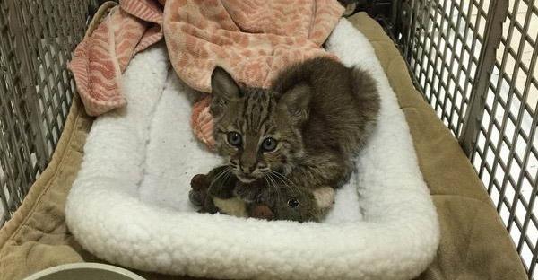 พลเมืองดีพบลูกแมวกลางถนน ก่อนจะพาไปหาสัตวแพทย์ถึงรู้ว่าเป็นลูกแมวป่าที่ไม่ธรรมดา