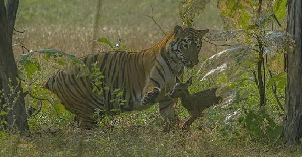 ช่างภาพสัตว์ป่าเจอเหตุการณ์ไม่คาดฝัน พบเสือโคร่งกับลูกกวางที่เล่นกันหน้าตาเฉย