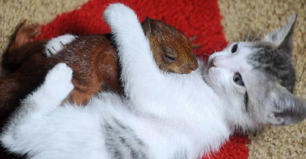 แม่แมวคาบลูกกระรอกบาดเจ็บเข้าบ้าน และเลี้ยงดูเหมือนเป็นลูกแท้ๆของตัวเอง