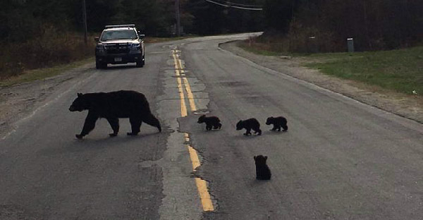 หมีดำตัวน้อยอ่อนแอเกินไปจนแม่หมีทิ้งไว้กลางถนน ท่ามกลางสายตาฝูงชนที่สัญจรไปมา